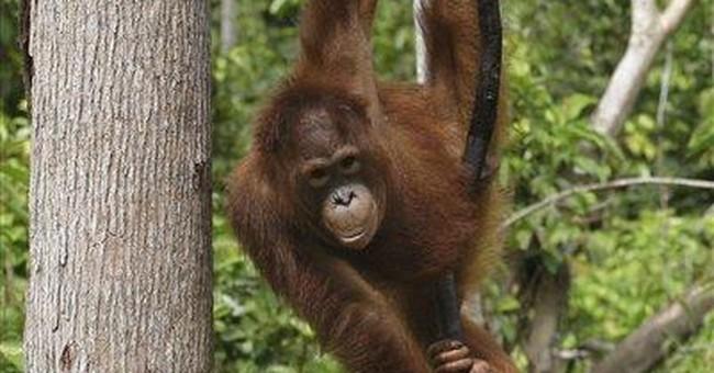 Survey: Indonesians killed 750 orangutans in year