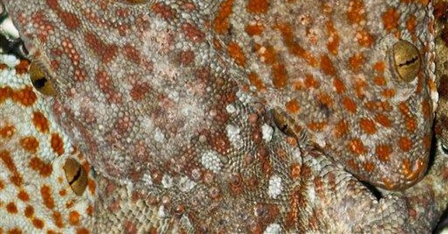 Asian gecko at risk over claims it can cure AIDS