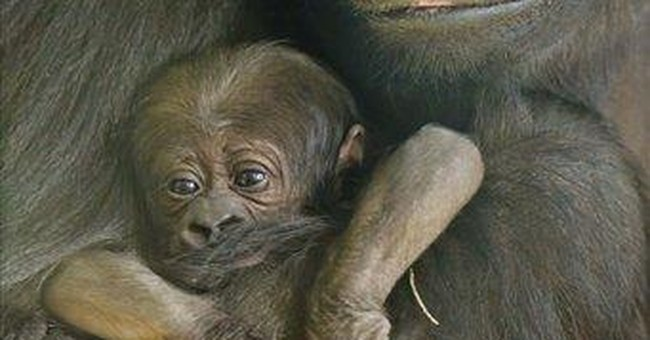 Endangered baby gorilla born at Chicago Zoo