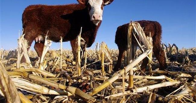 Livestock farmers say ethanol eats too much corn