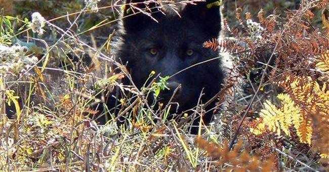 Wandering wolf inspires hope and dread