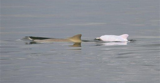 Biologists find albino among Brazil dolphins
