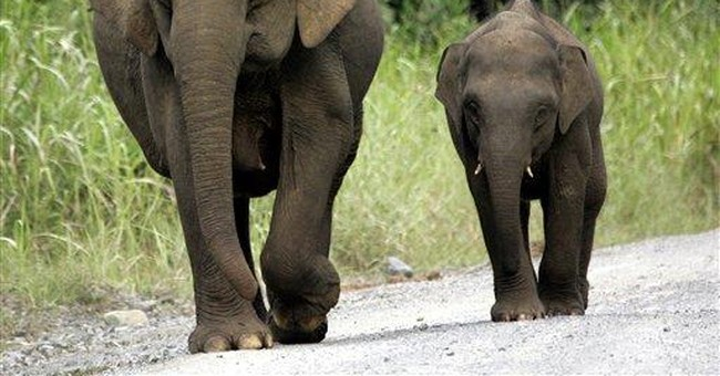 Borneo pygmy elephant fatally gores Aussie tourist
