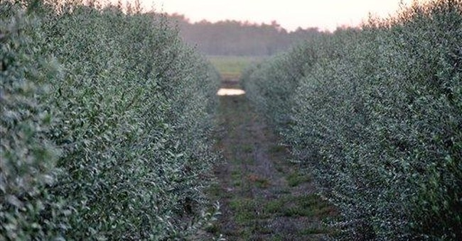 Ga. farmers out to bring back homegrown olive oil