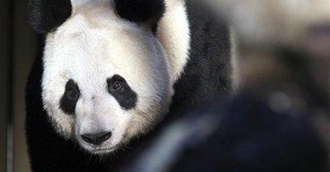 UK's newly arrived giant pandas make press debut