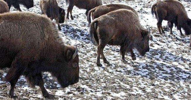 AP Exclusive: Colo., SD eyed for Yellowstone bison