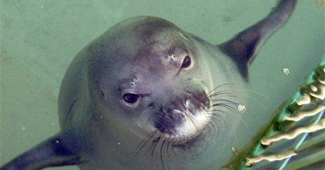 Hawaiian monk seal finds new home at aquarium