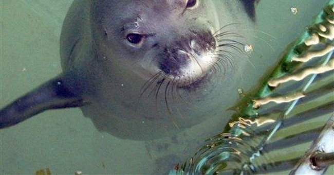 Hawaiian monk seal finds new home at aquarium