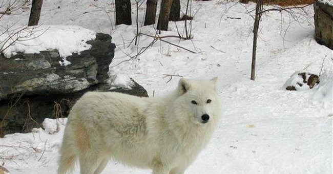 US gray wolves rebound but face uncertain future