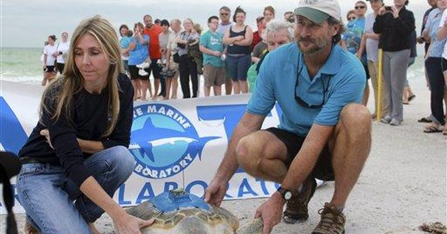 Once stranded off Europe, turtle released in Fla.