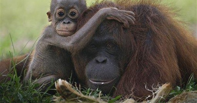 Captive orangutans in Indonesia may be freed