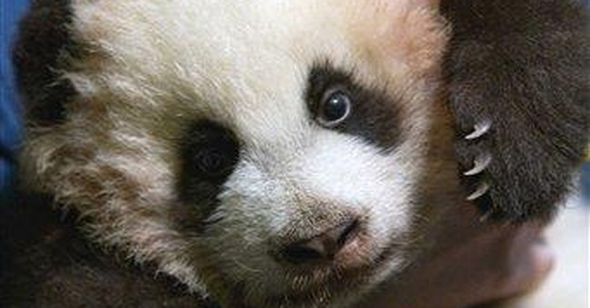 Atlanta's giant panda cub appearing in public