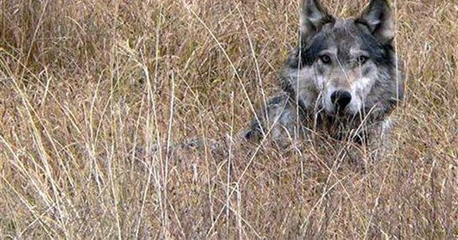 Deal reached to lift wolf protections in 2 states