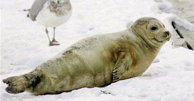 Harp seals from Canada take a liking to US waters