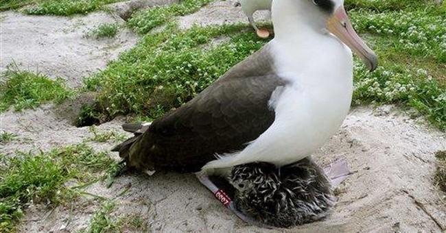 Albatross' return dispels fear it died in tsunami