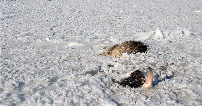 At least 32 musk oxen freeze to death after storm