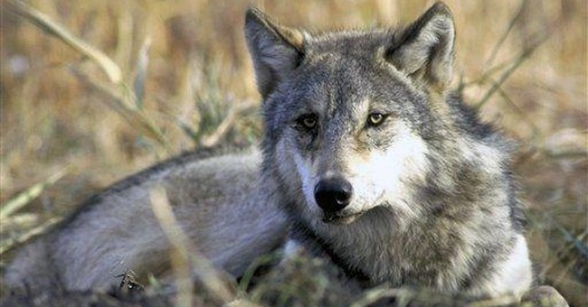 Wolf hunting deal faces first test before judge