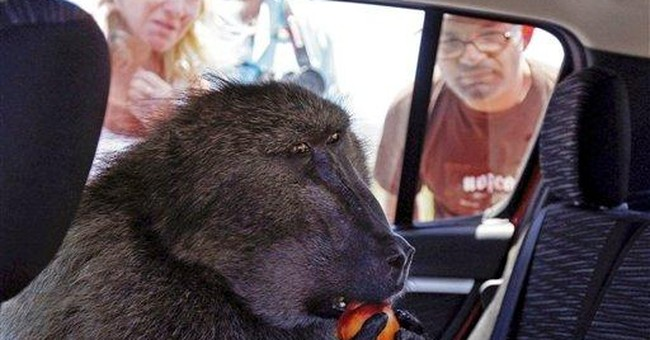 South Africa euthanizes well-known baboon