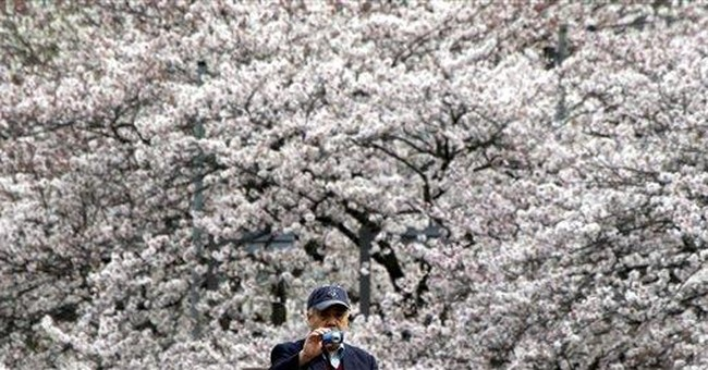 Tokyo's cherry blossoms officially in bloom