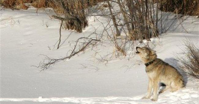 AP Newsbreak: Female shortage endangers wolves