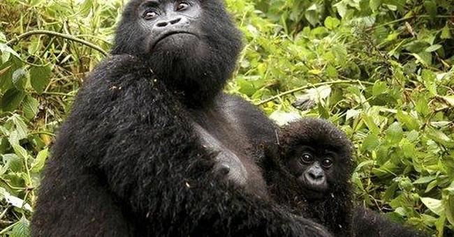 Study: Human virus threatens mountain gorillas