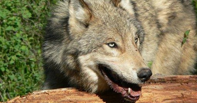 Lawmakers try to lift wolf protection despite deal