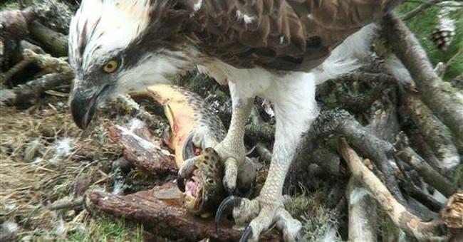 Osprey, 26, delights birders on return to Scotland