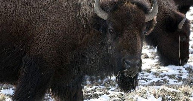 Agreement to let Yellowstone bison roam in Mont.