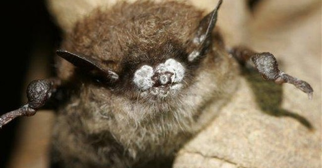 Study: Fungus behind bat die-off came from Europe