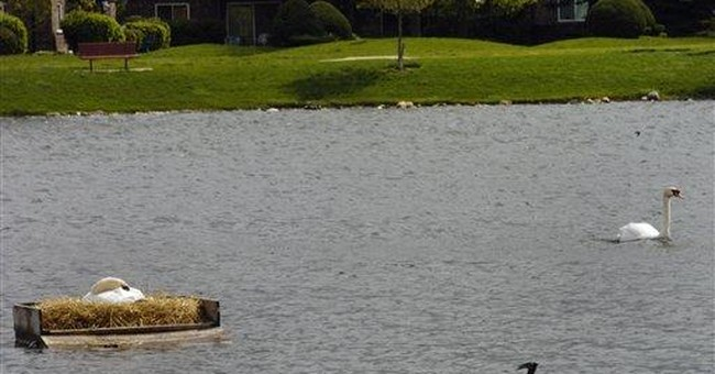 Swan linked to suburban Chicago man's drowning