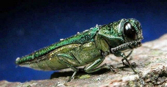 APNewsBreak: Ash pest found closer to New England