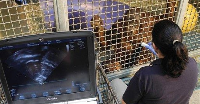 Orangutans sit still for heart ultrasound at zoo