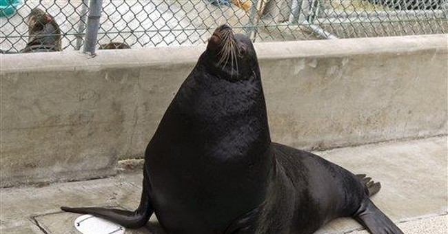 Blind California sea lion will go home to Utah