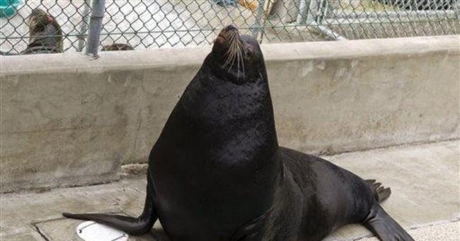 Blind California sea lion will go home to Utah