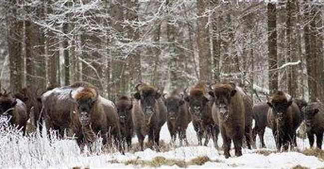 Wild bison with TB may have to be killed in Poland