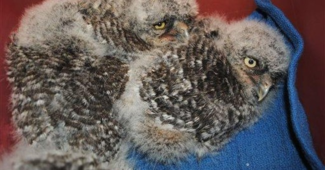 Wash. State University raising infant horned owls