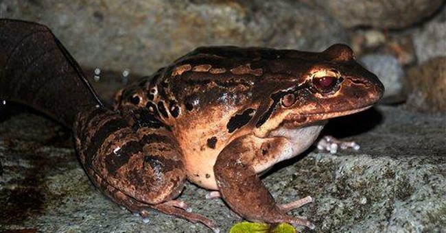 One of world's largest frogs returns to Montserrat