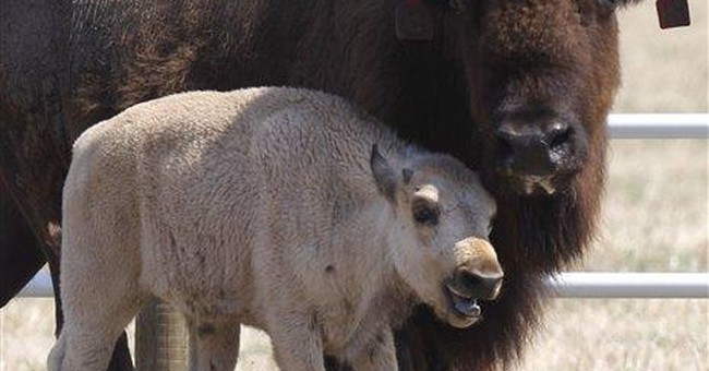 Rare white buffalo calf dies in North Texas