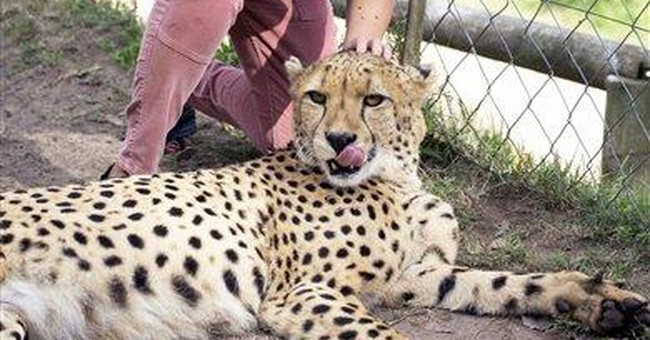 SAfrica: Man photographs cheetahs attacking wife
