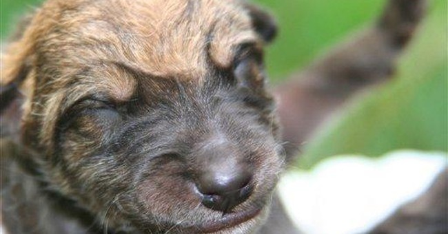 Endangered wolves at NY preserve produce 8 pups