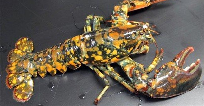 Calico lobster on display at New England Aquarium