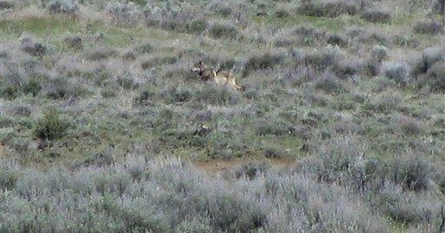 Well-traveled Ore. wolf photographed in Calif.