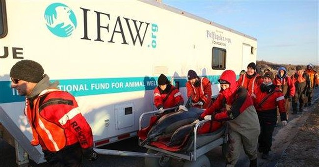 Up to 30 dolphins beach on Cape Cod, 10 to 12 dead