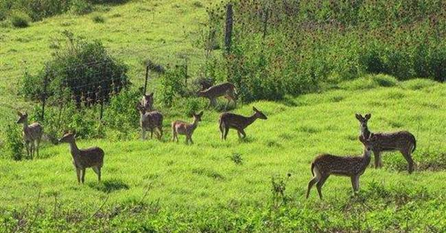 Mystery deer growth pitting hunters against Hawaii