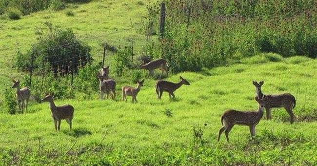 Mystery deer growth pitting hunters against Hawaii