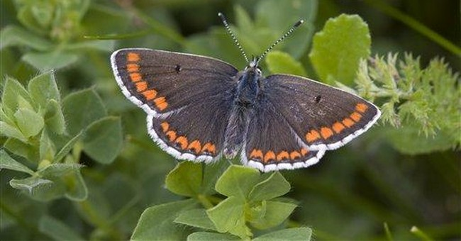 Global warming winner: Once rare butterfly thrives