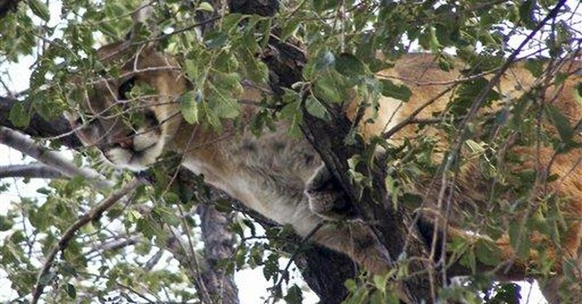 Study: Cougars again spreading across Midwest