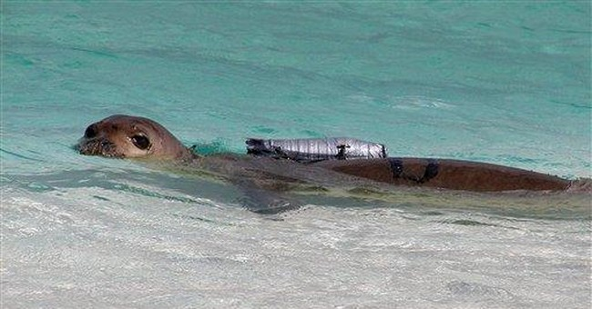 Scientists to strap cameras to Hawaiian seals