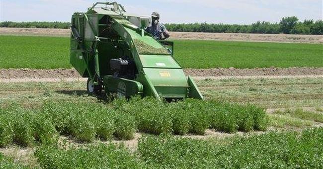 NM scientists develop drought-tolerant alfalfa