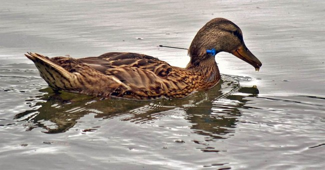 Elusive wounded duck netted on Longview lake